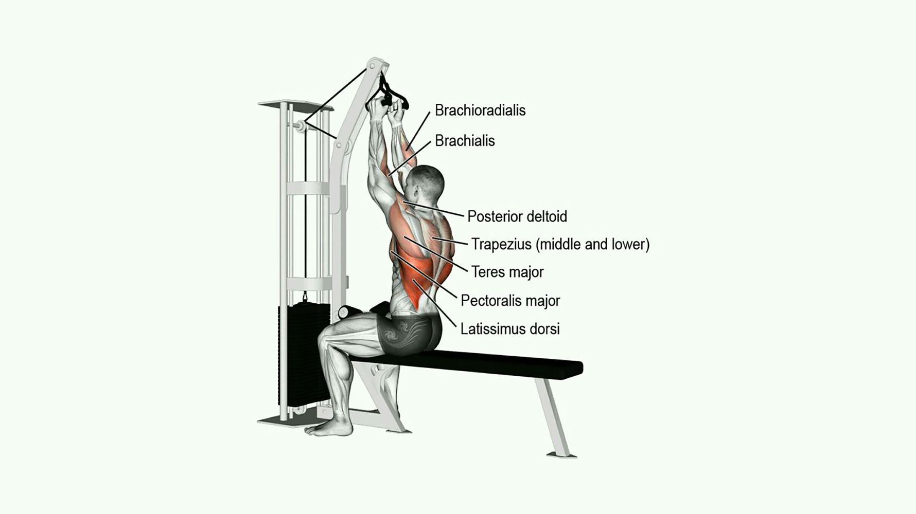 close grip v bar pulldown muscles worked